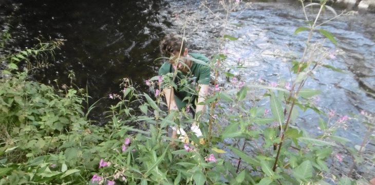 Japanköterich und Springkraut in Allach – 14. August 2018