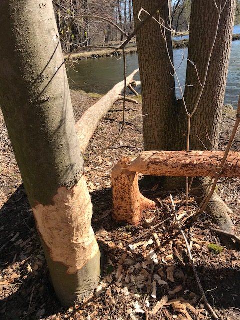 Im Nymphenburger Schlosspark - alles Wasser dort kommt von der Würm. So hat auch der Biber dort ein Zuhause gefunden.
