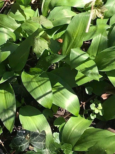 Bärlauch überall... noch nicht zu verwechseln mit den giftigen Maiglöckchenblättern. Die kommen erst später raus. Bärlauch reiben – Lauch riechen!