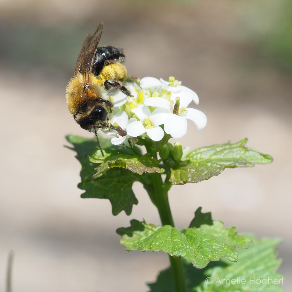Biene auf Knoblauchsrauke