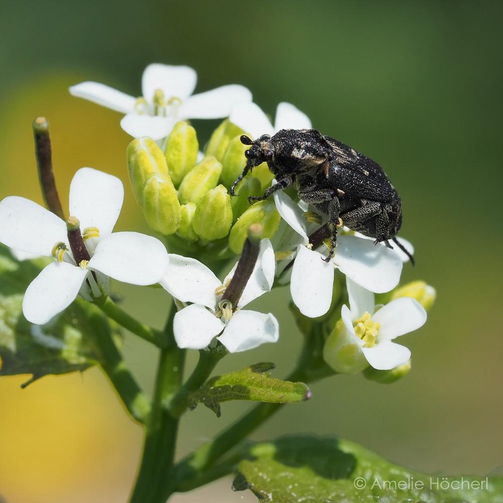 Stolperkäfer auf Knoblauchsrauke