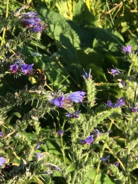 Obwohl er sich etwas rau anfasst, ist der Natternkopf sehr gerne in der Insektenoase gesehen. Seine Blätter dienen einigen Schmetterlingsraupen als Nahrung und viele Insekten freuen sich über die vielen schönen Blüten.