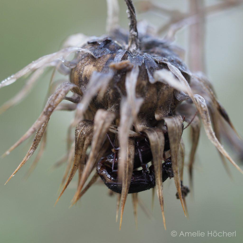 Käfer in Distel